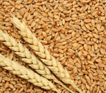 wheat seeds vijapur, wheat seed manufacturer vijapur, wheat seeds gujarat, wheat seed manufacturer gujarat, wheat seeds india, wheat seed manufacturer india